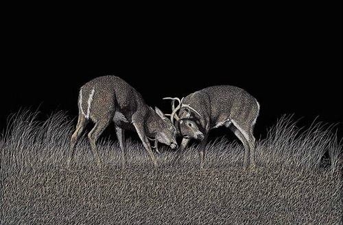 Fighting deer. Scratchboard painting by American artist Dan Berg