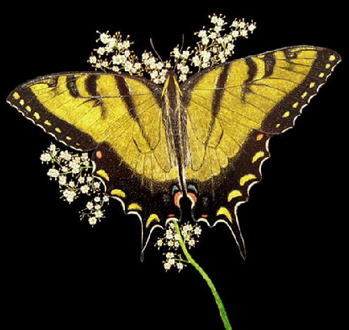 Gorgeous butterfly. Scratchboard painting by American artist Dan Berg
