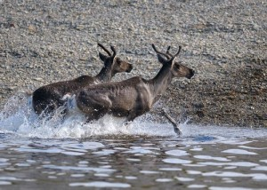 deer leaving the river