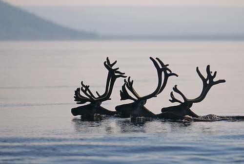 deer swimming to the river bank
