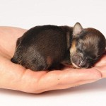 Sleeping tight on a palm, beauyiful puppy Mini