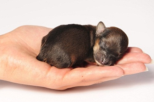Sleeping tight on a palm, beautiful puppy Mini