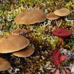 siberian mashrooms