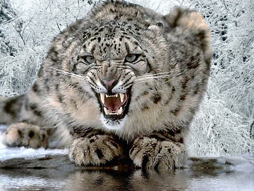 Beautiful and rare snow leopard