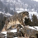 Rare snow leopard