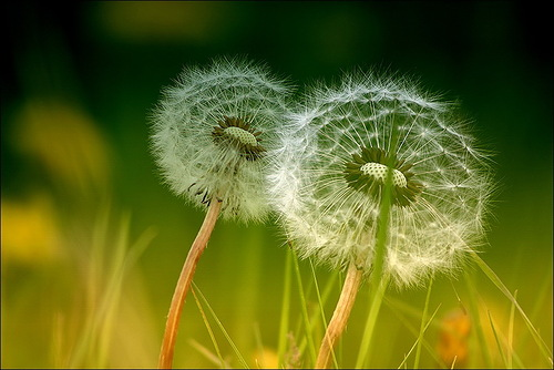 Dandelions. Photo by Veronika Pinke