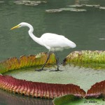 Heron on water lily