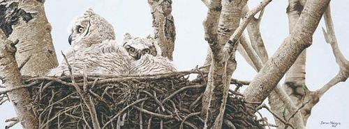 ASPEN BUDS - GREAT HORNED OWLS, Darren Haley