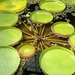 Wonderful view of Water lily pond