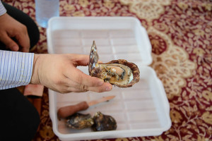 Here's the uncovered oyster with a pearl. It was cultivated on Japanese technology on farms of RAK Pearls, quite young, which appeared in 2005. Abbreviation means RAK Ras-Al-Khaima, emirate name