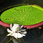 Light pink water lily flower