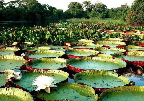 Appearing at the sunset water lily flower Victoria Regia