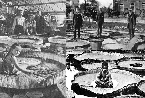 Old photographs of Victoria amazonica showing the ability to withstand loads of up to several tens of kilograms