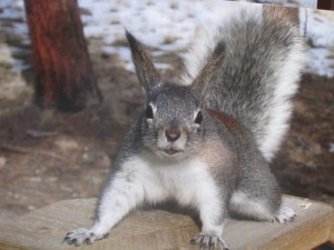 A Kaibab squirrel has a black body and a white tail.