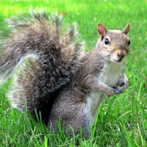 A squirrel stands motionless on two feet when it senses danger. The tail helps the squirrel to balance its body while jumping.