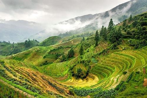 Green landscape of terraced rice fields