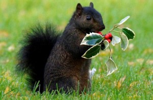 The rare Black squirrel in a cemetary in Hitchin hertfordshire.Picture David Parker