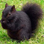 Black squirrels stay warmer as their color absorbs more radiation from the sun.