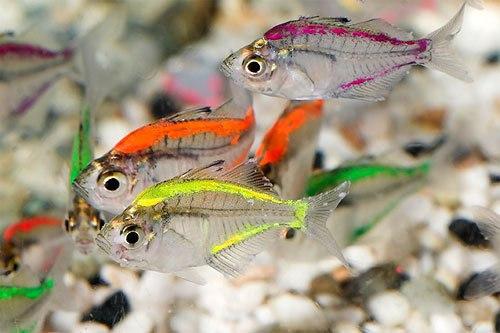 Chanda ranga, transparent fish