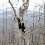 Three bears climbing high