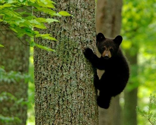A little bear climbing the tree