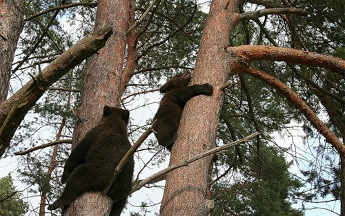 Funny picture of bears climbing the trees