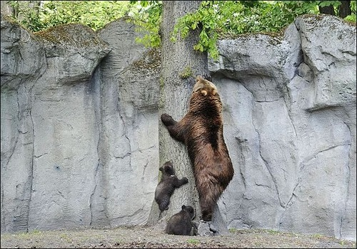 Mother bear teaching her cubs to climb