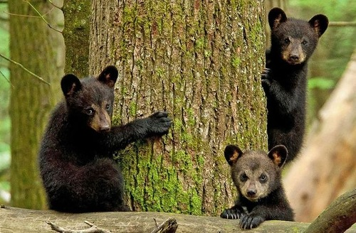 Beautiful photo of three bear cubs climbing the trees