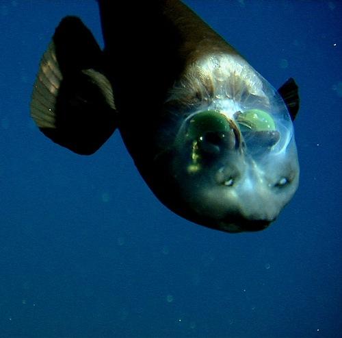 Weird Deep-sea fish Macropinna microstoma