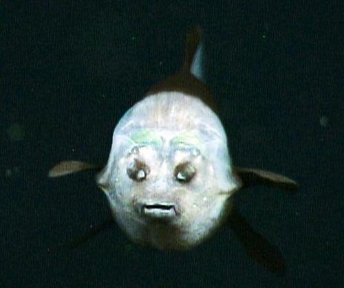 Wonderful Fish with transparent head- Deep-sea Macropinna microstom