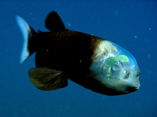 Miracle of nature – Deep-sea fish Macropinna microstoma