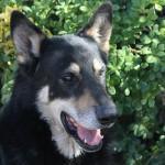 Faithful dog Captain