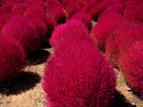 Amazing colors. The Hitachi Seaside Park