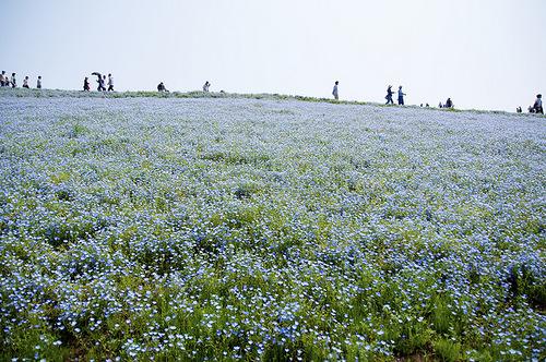 Cornflower and lavender fields