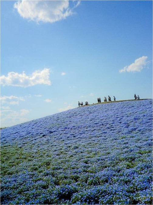 Endless cornflower fields. Beautiful restored after the tsunami of 2011 The Hitachi Seaside Park