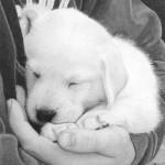 Sleeping puppy. Hyperrealistic pencil drawing by American self-taught artist Randy Hann