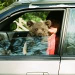 Sitting in a car Ilzit, the bear