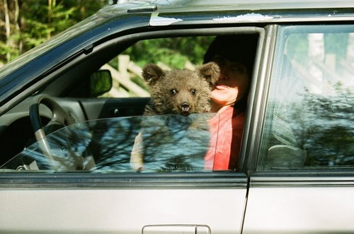 Sitting in a car Ilzit, the bear