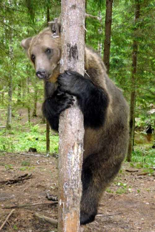 Hugging a tree Ilzit, the bear