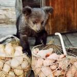 Baskets with potato and Ilzit, the bear