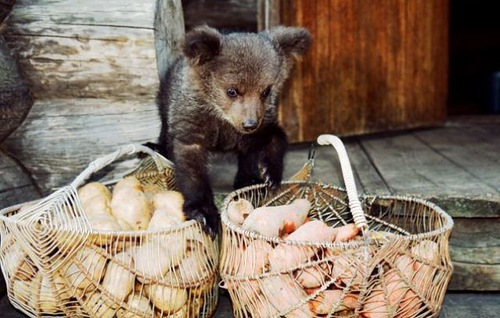 Baskets with potato and Ilzit, the bear