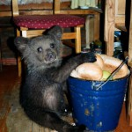 Playing with food Ilzit, the bear