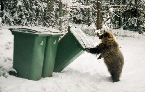 Checking garbage bins Ilzit, the bear