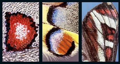 Latin letters on butterfly wings found and shot by Norwegian photographer Kjell Sandved