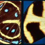 G and H. Latin letters on butterfly wings found and shot by Norwegian photographer Kjell Sandved