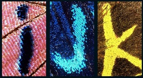 I, J, K – Alphabet on butterfly wings found and shot by Norwegian photographer Kjell Sandved