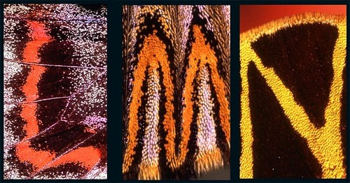 L, M, N – Latin letters on butterfly wings found and shot by Norwegian photographer Kjell Sandved
