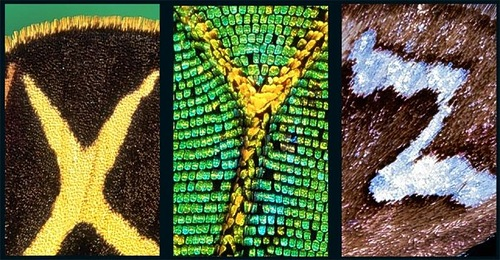 X, Y, Z - Latin letters on butterfly wings found and shot by Norwegian photographer Kjell Sandved