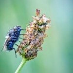 Blue fly crawling on a plant. Macro photography by French amateur photographer David Chambon