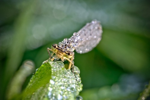 Covered with dewdrops insect. Work by French amateur photographer David Chambon